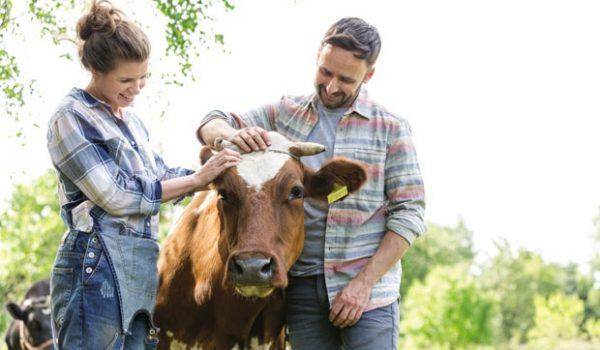 Мажење крава ослобађа од стреса