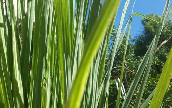 Limunova trava snižava temperaturu, jača imunitet i uništava gljivice