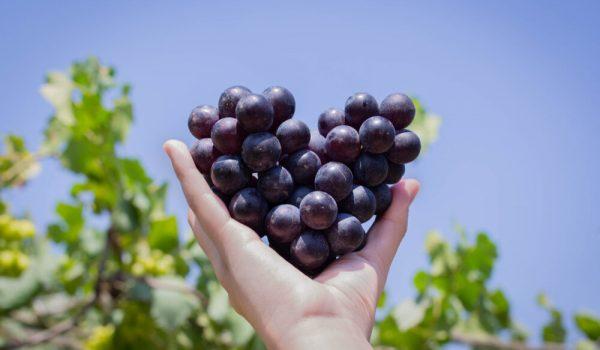 Crno grožđe je čudotvorni lek